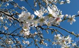Almond tree flowers. Parque Quinta de los Molinos (Madrid)