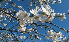 Almond tree flowers. Parque Quinta de los Molinos (Madrid)